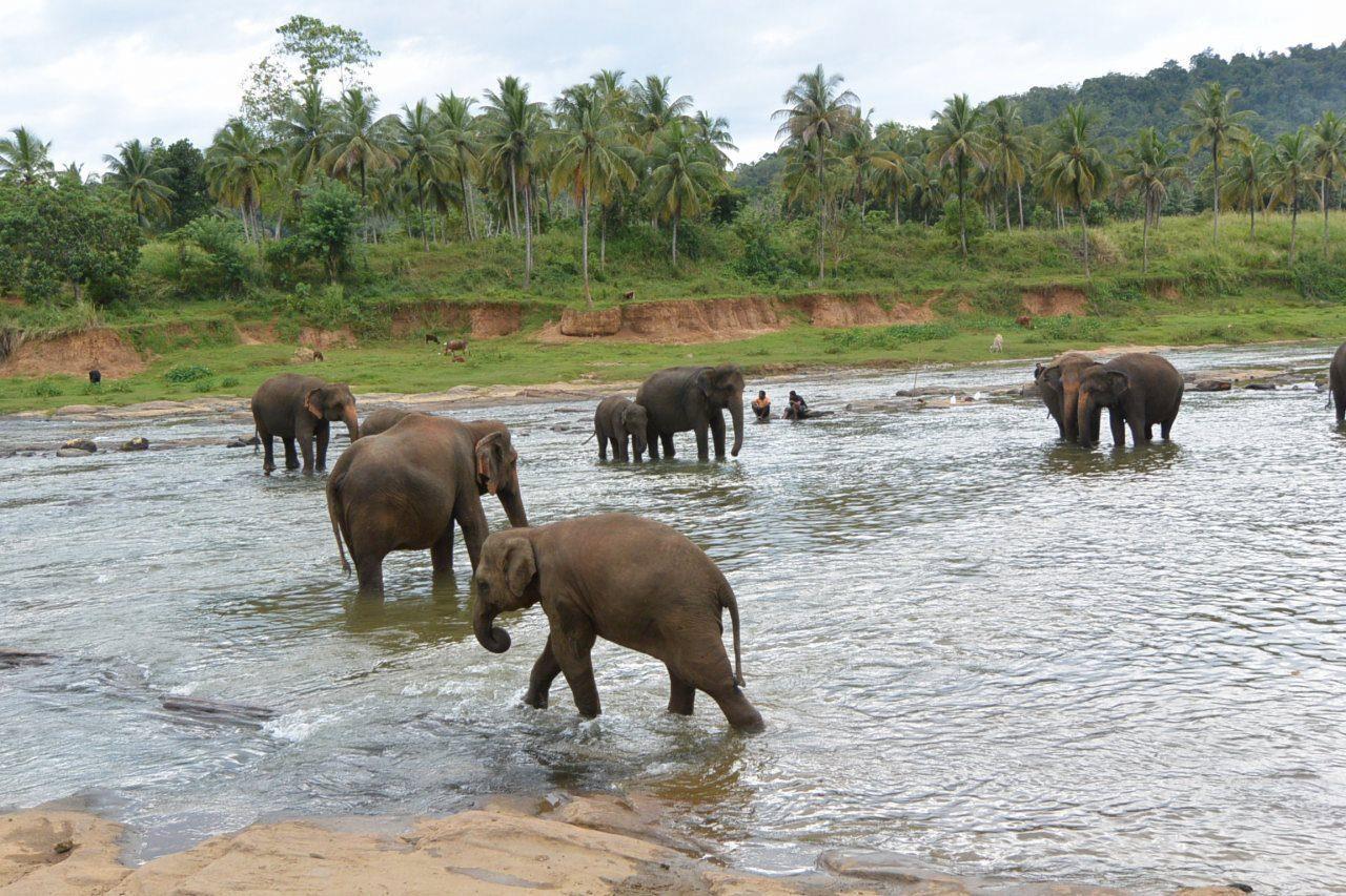 ピンナワラ象の孤児院(園)-d