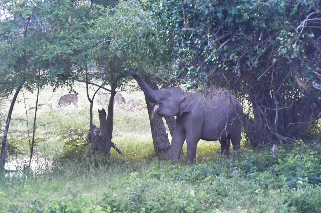 ヤーラ国立公園の象