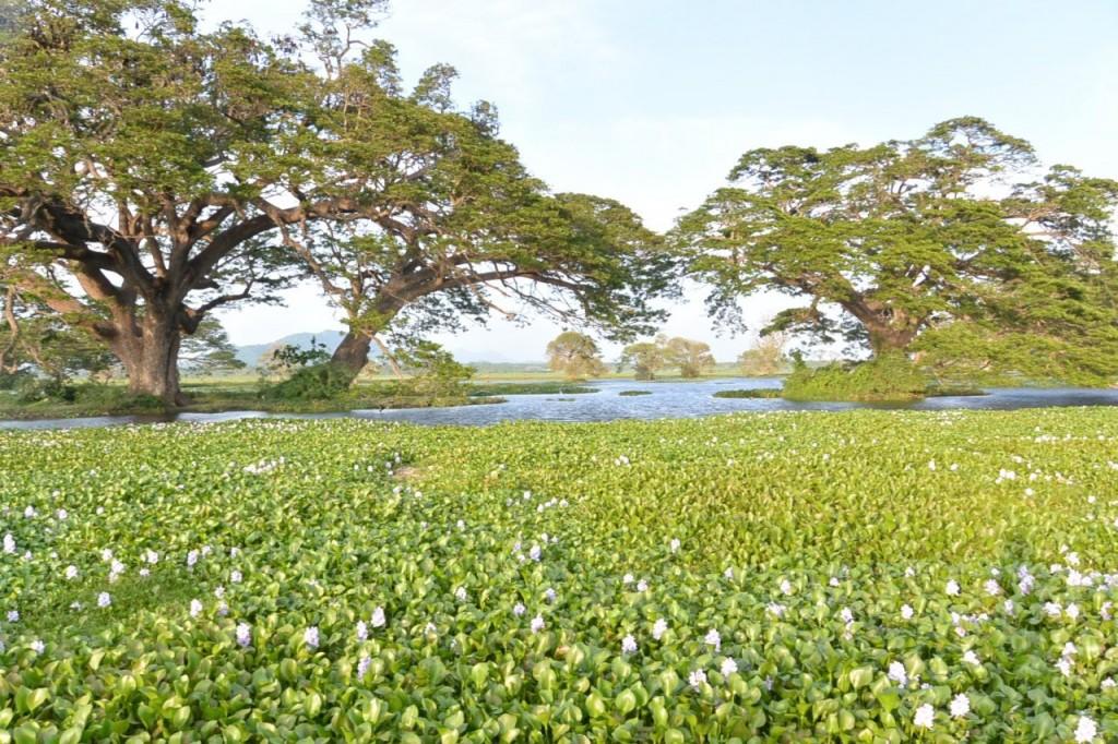 ティッサマハーラーマの貯水池(ホテイアオイ)