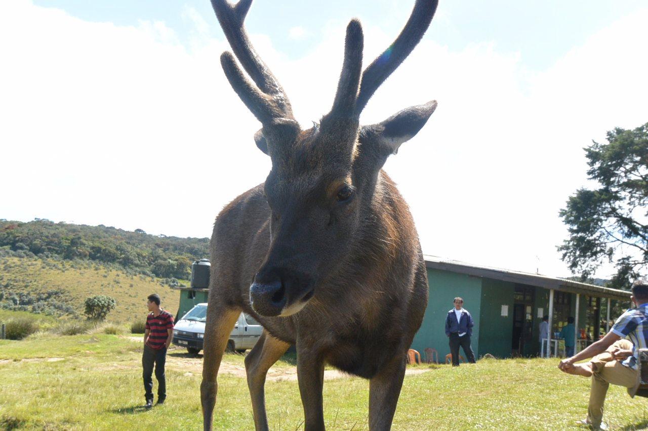 ホートンプレインズ国立公園の鹿(スリランカ・サンバー)